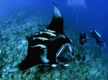 อินโด ประกาศเขตอนุรักษ์ปลากระเบนราหูที่มีขนาดใหญ่ที่สุดในโลก