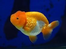 ปลาทอง เลี้ยงอย่างไร ไม่ให้ตาย