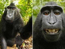 สงครามลิขสิทธิ์!? wiki ไม่ลบรูปลิง selfie อ้างลิงเป็นเจ้าของภาพ