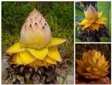 กล้วยดอกบัวทอง ดอกไม้ศักดิ์สิทธิ์แห่งยูนนาน