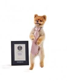 เจ้าจิฟ หมาพันธุ์ปอมเปอเรเนียน ซุปตาร์วิ่ง2ขาที่เร็วที่สุดในโลก