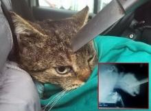 ช็อก! คนใจโหดใช้มีดปักหัวแมว แทงลึก 2 นิ้ว รอดชีวิตปาฏิหาริย์