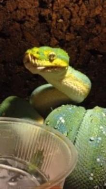 งูดื่มน้ำ โมเม้นต์น่ารักของงูที่เราไม่ค่อยได้เห็น