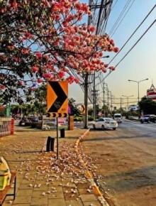 ซากุระเมืองไทย บานสะพรั่งกลางกรุง!