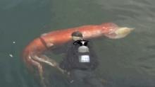 ตะลึง!! ชาวญี่ปุ่นจับภาพหมึกยักษ์ตัวยาวกว่า 4 เมตรพอๆกับคน(คลิป)