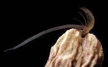 อวัยวะเพศที่ยาวที่สุดในโลก...
