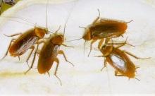 เคล็ดลับ :การกำจัดแมลงสาบ