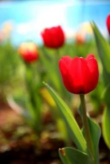 ทิวลิป : ดอกไม้ที่อุดมด้วยตำนาน