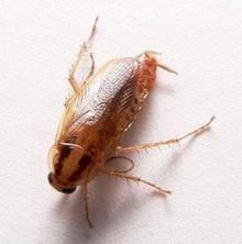 จริงหรือ แมลงสาบหัวขาดแต่ไม่ยักจะตาย