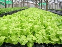 ข้อดีและข้อเสียของการปลูกพืชด้วยระบบไฮโดรโปรนิกส์