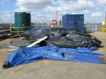 พบ วาฬ ลอยน้ำเสียชีวิตบริเวณปากแม่น้ำเธมส์