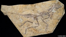 พบฟอสซิลนกรุ่งอรุณอายุ 160 ล้านปี สัตว์ต้นสายวิวัฒนาการนก