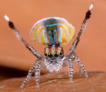 ชมภาพ แมงมุมนกยูง รำแพนหางสุดสวย