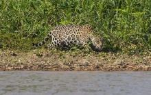 ระทึก ! ภาพวินาทีเสือจากัวร์ขย้ำจระเข้ ก่อนลากไปเป็นอาหาร