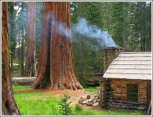 เซควอญา ต้นไม้ยักษ์ 2,700 ปี