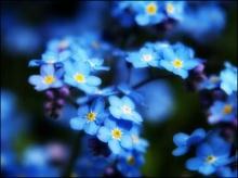 ตำนานดอก Forget Me Not สัญลักษณ์แห่งความรักโรแมนติก