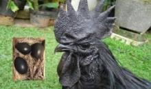 แปลก! ไก่ดำ ที่ดำที่สุดในโลก ไข่ก็ดำ เป็นยาอายุวัฒนะ ทานแล้วอายุยืน กับราคาที่น่าลิ้มลอง!