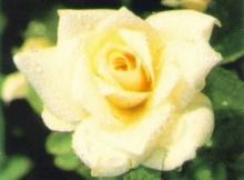 เตือนภัยวาเลนไทน์!ดอกกุหลาบอาจทำให้คนรักเสียชีวิต