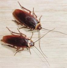 ได้เวลากำจัดแมลงสาบให้หมดไปจากบ้านแล้ว!!
