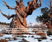 ทึ่ง! 10 ต้นไม้โบราณเก่าแก่ที่สุดในโลก