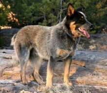 10สายพันธุ์สุนัขที่ฉลาดที่สุดในโลก