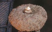 หัวบุกสามารถลดน้ำหนักได้จริงหรือ