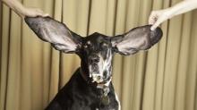คลิป หมาหูยาวที่สุดในโลก!