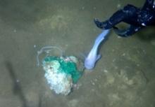 เผยหน้าตา สัตว์โลกใต้น้ำ ลึกสุดในโลก 7,062 ม.