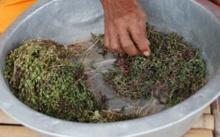 พิษณุโลกแห่ต้มหญ้าหยาดน้ำค้างกินแก้โรค