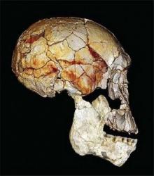 นักโบราณคดีถกกันวุ่น บรรพชนมนุษย์มีกี่สปีชีส์?