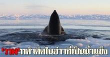 วาฬ11ตัวติดในอ่าวที่เป็นน้ำแข็ง