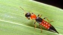 ผิวหนังอักเสบจากแมลงก้นกระดก