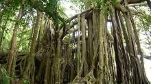 """""""ป่าไทร 100 ปี""""…มหัศจรรย์ป่าไทรในพังงา"""