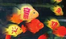 สักอักษรเฮงๆ บนตัวปลา เทรนด์(สุดโหด)ใหม่ในเมืองจีน