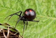 แม่บ้านมะกันผงะ เจอ แมงมุมดำ ในถุงองุ่นจากซุปเปอร์มารเก็ต