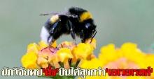 นักวิจัยพบผึ้งบินได้สูงกว่าเอเวอเรสต์