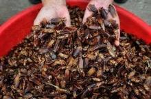 อึ้ง!! แค่โอวัลตินก็กำจัดแมลงสาบได้ยกรัง