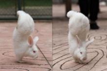 น่ารัก ใสใส! กระต่ายน้อยใจสู้ เดินได้แม้ขาหลังพิการ