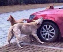 แก๊งค์หมาจัดหนัก เมื่อเพื่อนถูกคนเตะ เลยต้องแก้แค้น!!!