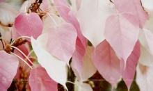 """เคยเห็นกันมั้ย!? นทท.แห่ชม! """"ต้นโพธิ์"""" ใบสีชมพูสวยงาม ที่จันทบุรี"""