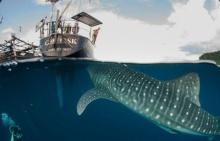 จะเกิดอะไรขึ้น!! เมื่อฉลามวาฬยักษ์บุกถึงตัวเรือแบบนี้!!