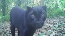 รู้จัก เสือดำ แห่งป่าทุ่งใหญ่นเรศวร-ห้วยขาแข้ง มี 130 ตัว