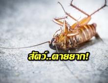 """ผลวิจัยชี้ """"แมลงสาบ"""" ฆ่ายากขึ้น หลังทดลองกับยาฆ่าแมลง"""
