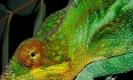 ความมหัศจรรย์ของการเปลี่ยนสีของกิ้งก่าคามิเลี่ยน
