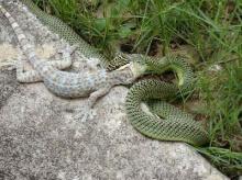 ทำไมงูเขียวต้องกินตับตุ๊กแก!!