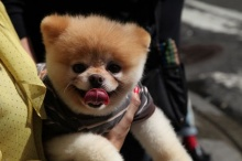 คลิป บู (ที่เขาว่ากันว่าเป็น)สุนัขที่น่ารักที่สุดในโลก