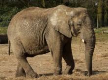 สตรีมีครรภ์กับความเชื่อเรื่องการลอดท้องช้าง