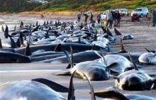 โลมาเหยียบกัน-ฝูงวาฬเกยติ้น สัญชาติญาณส่งคำเตือนอะไรแก่โลก?