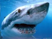 ซุปหูฉลาม อาหารไฮโซ อาหารอันตรายทั้งฉลาม และคน