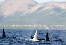 พบ วาฬเพชฌฆาตเผือก ตัวแรกในโลก